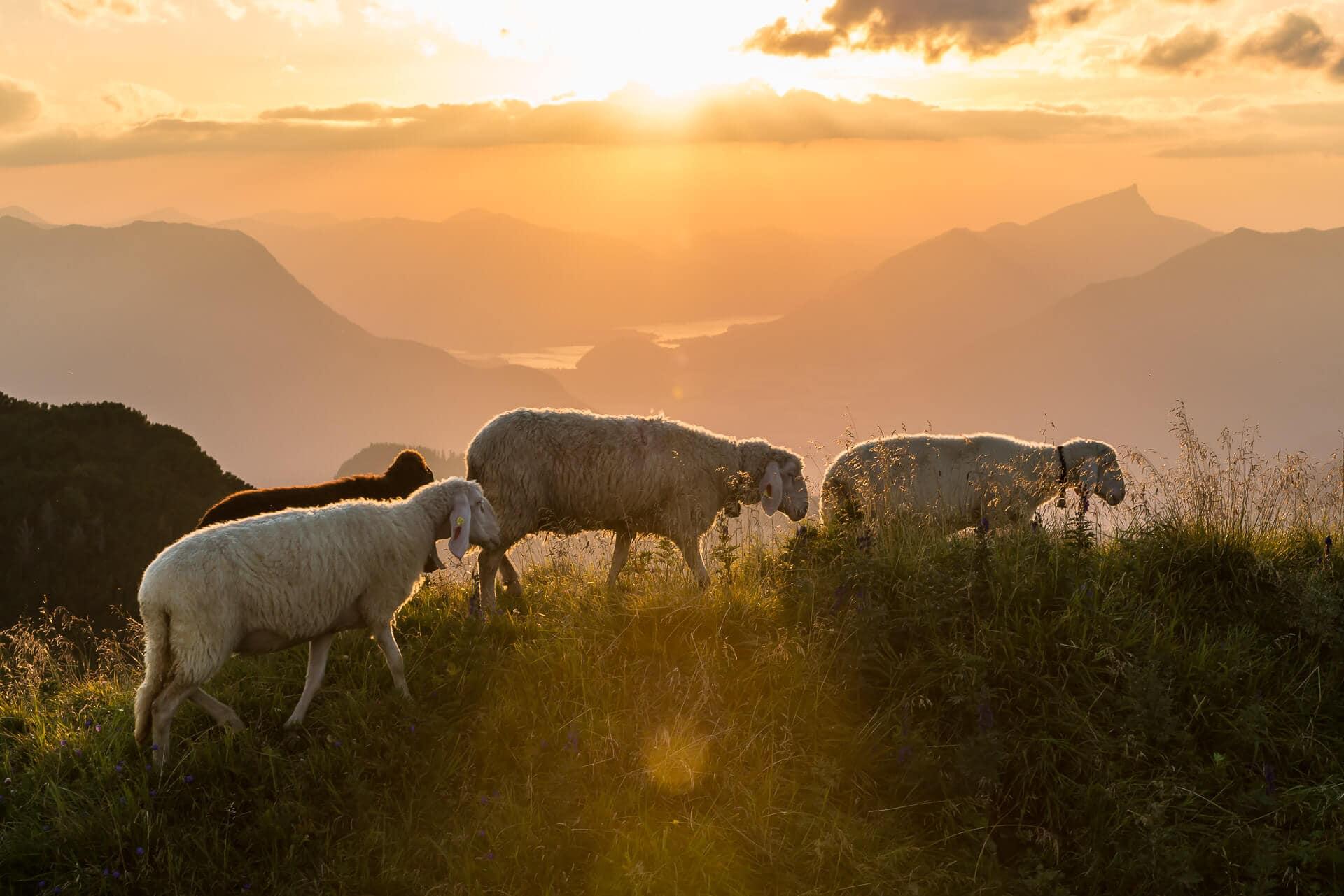 Schafe am Loser