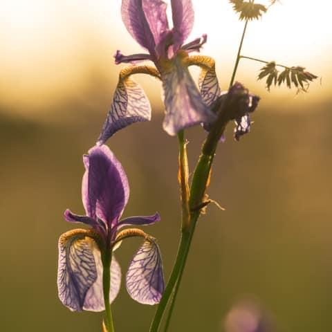Ende Mai blühen in den sauren Wiesen des Ennstals die sibirischen Schwertlilien - Iris Sibirica